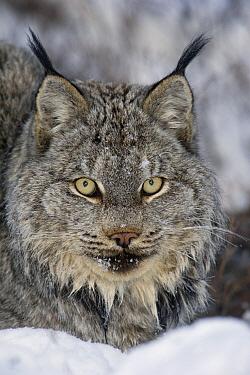Canada Lynx (Lynx canadensis), Alaska