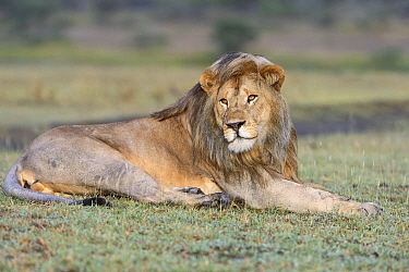 African Lion (Panthera leo) male, Serengeti National Park, Tanzania