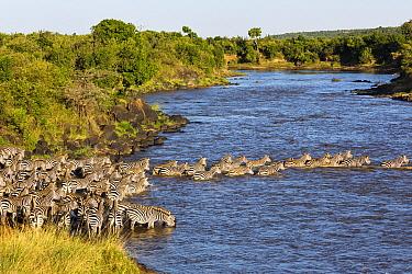Zebra (Equus quagga) herd crossing river during migration, Mara River, Masai Mara, Kenya