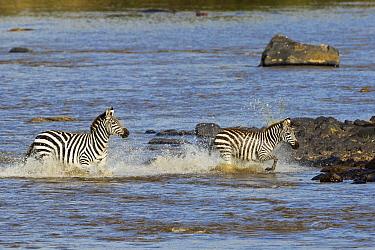 Zebra (Equus quagga) mother and foal crossing river during migration, Mara River, Masai Mara, Kenya. Sequence 1 of 10