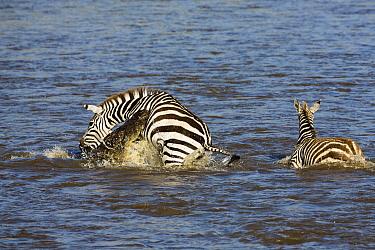 Nile Crocodile (Crocodylus niloticus) attacking Zebra (Equus quagga) mother, Mara River, Masai Mara, Kenya. Sequence 2 of 10