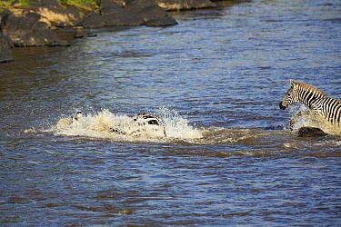 Nile Crocodile (Crocodylus niloticus) attacking Zebra (Equus quagga) mother, Mara River, Masai Mara, Kenya. Sequence 3 of 10