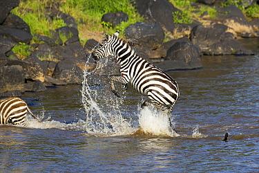 Zebra (Equus quagga) mother evading Nile Crocodile (Crocodylus niloticus), Mara River, Masai Mara, Kenya. Sequence 4 of 10