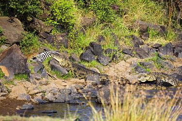 Leopard (Panthera pardus) and returning Nile Crocodile (Crocodylus niloticus) competing over Zebra (Equus quagga) prey, foal has rejoined family, Mara River, Masai Mara, Kenya. Sequence 7 of 10