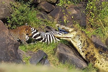 Leopard (Panthera pardus) and returning Nile Crocodile (Crocodylus niloticus) competing over Zebra (Equus quagga) prey, foal has rejoined family, Mara River, Masai Mara, Kenya. Sequence 8 of 10
