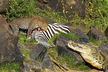 Leopard (Panthera pardus) and returning Nile Crocodile (Crocodylus niloticus) competing over Zebra (Equus quagga) prey, foal has rejoined family, Mara River, Masai Mara, Kenya. Sequence 9 of 10
