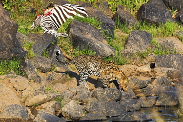 Leopard (Panthera pardus) with Zebra (Equus quagga) carcass drinking after winning prey back from competitors, Masai Mara, Kenya. Sequence 10 of 10