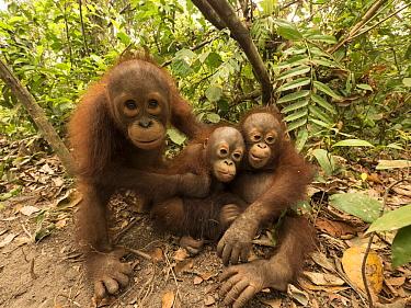 Orangutan (Pongo pygmaeus) orphans during air pollution incident caused by fires, Yayasan IAR, Ketapang, West Kalimantan, Borneo, Indonesia. October, 2015