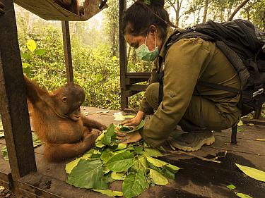 Orangutan (Pongo pygmaeus) caretaker bringing orphan supplemental food during air pollution incident caused by burning forests, Yayasan IAR, Ketapang, West Kalimantan, Borneo, Indonesia. October, 2015