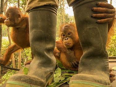 Orangutan (Pongo pygmaeus) orphans and caretaker during air pollution incident caused by burning forests, Yayasan IAR, Ketapang, West Kalimantan, Borneo, Indonesia. October, 2015