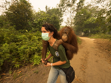 Orangutan (Pongo pygmaeus) caretaker, Karmele Llano Sanchez, carrying orphan during air pollution incident caused by burning forests, Yayasan IAR, Ketapang, West Kalimantan, Borneo, Indonesia. October...