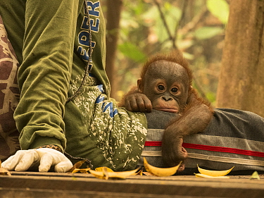 Orangutan (Pongo pygmaeus) orphan resting on caretaker during air pollution incident caused by burning forests, Yayasan IAR, Ketapang, West Kalimantan, Borneo, Indonesia. October, 2015