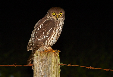 Barking Owl (Ninox connivens) perching on fence post at night, Yungaburra, Queensland, Australia