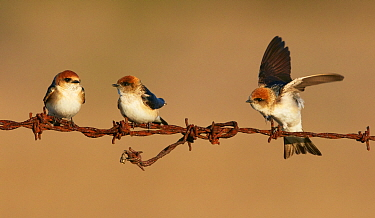 Fairy Martin (Hirundo ariel) trio perching on barbed wire, Woodstock, Queensland, Australia
