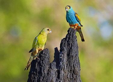 Golden-shouldered Parrot (Psephotus chrysopterygius) pair, Musgrave, Cape York Peninsula, Australia