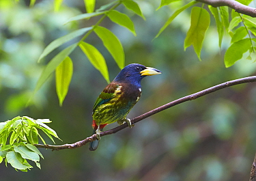 Great Barbet (Megalaima virens), Gaoligongshan National Nature Reserve, Yunnan Province, China