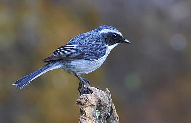 Grey Bushchat (Saxicola ferrea) male, Gaoligongshan National Nature Reserve, Yunnan Province, China
