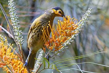 Macleay's Honeyeater (Xanthotis macleayanus) feeding on flower nectar, Malanda, Queensland, Australia