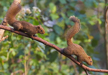 Red-bellied Squirrel (Callosciurus erythraeus) pair, Gaoligongshan National Nature Reserve, Yunnan Province, China