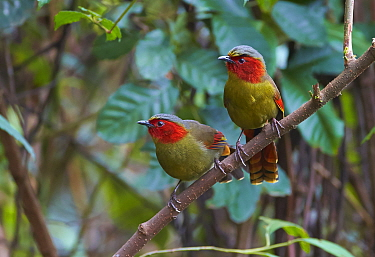 Red-faced Liocichla (Liocichla phoenicea) pair, Gaoligongshan National Nature Reserve, Yunnan Province, China