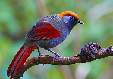 Red-tailed Laughingthrush (Garrulax milnei), Gaoligongshan National Nature Reserve, Yunnan Province, China