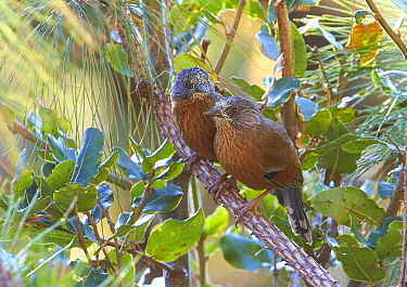 Streak-throated Barwing (Actinodura waldeni) pair, Mount Victoria, Myanmar