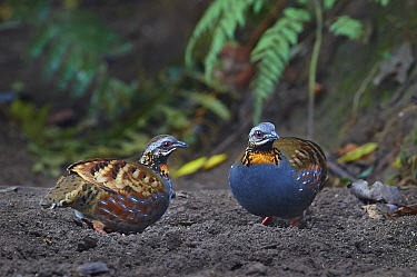 Rufous-throated Partridge (Arborophila rufogularis) pair, Gaoligongshan National Nature Reserve, Yunnan Province, China