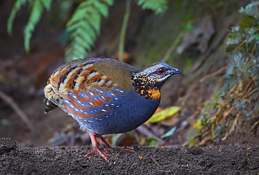 Rufous-throated Partridge (Arborophila rufogularis), Gaoligongshan National Nature Reserve, Yunnan Province, China