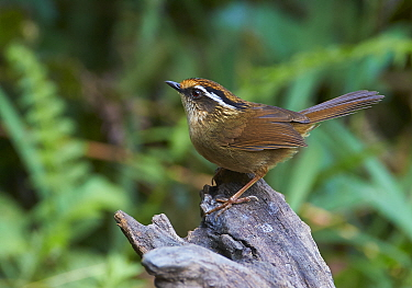 Rusty-capped Fulvetta (Alcippe dubia), Gaoligongshan National Nature Reserve, Yunnan Province, China