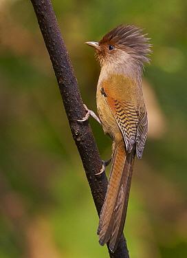 Rusty-fronted Barwing (Actinodura egertoni), Gaoligongshan National Nature Reserve, Yunnan Province, China