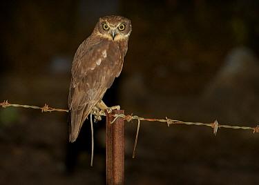 Southern Boobook (Ninox boobook) perching on fence post at night, Musgrave, Cape York Peninsula, Australia