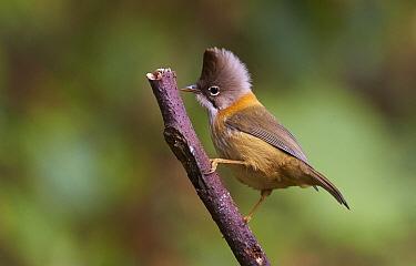 Whiskered Yuhina (Yuhina flavicollis), Gaoligongshan National Nature Reserve, Yunnan Province, China