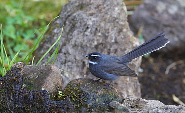 White-throated Fantail (Rhipidura albicollis), Gaoligongshan National Nature Reserve, Yunnan Province, China