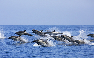Common Dolphin (Delphinus delphis) pod porpoising, Nine Mile Bank, San Diego, California