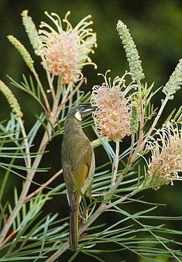 Lewin's Honeyeater (Meliphaga lewinii) feeding on Grevillea (Grevillea sp) flower nectar, Lamington National Park, Queensland, Australia