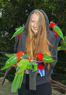 Australian King Parrot (Alisterus scapularis) flock and Crimson Rosella (Platycercus elegans) being fed by tourist, Lamington National Park, Queensland, Australia