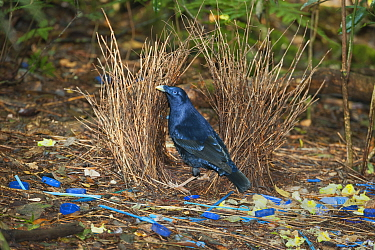 Satin Bowerbird (Ptilonorhynchus violaceus) male in bower decorated with blue objects and yellow flowers, Lamington National Park, Queensland, Australia