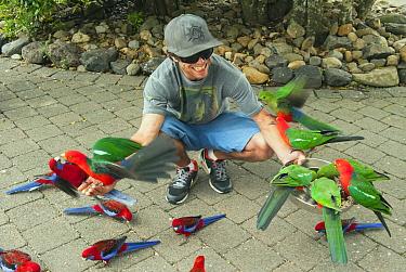 Australian King Parrot (Alisterus scapularis) and Crimson Rosella (Platycercus elegans) flock being fed by tourist, Lamington National Park, Queensland, Australia