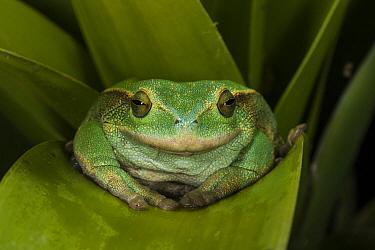 Silver Marsupial Frog (Gastrotheca plumbea), Chimborazo, Ecuador