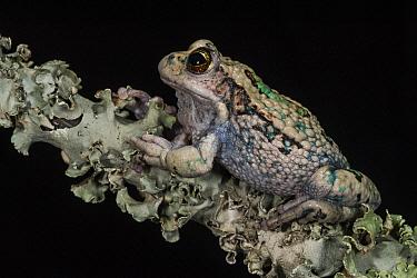 San Lucas Marsupial Frog (Gastrotheca pseustes) blending into lichen, native to South America