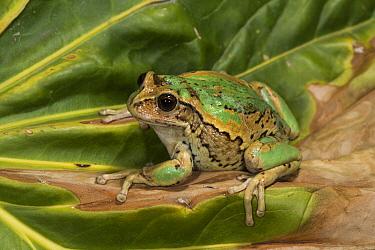 Marsupial Frog (Gastrotheca riobambae), native to South America
