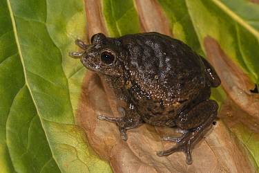 Marsupial Frog (Gastrotheca riobambae) female with eggs in dorsal pouch, native to South America