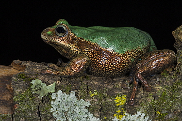 Marsupial Frog (Gastrotheca sp), new species, native to South America