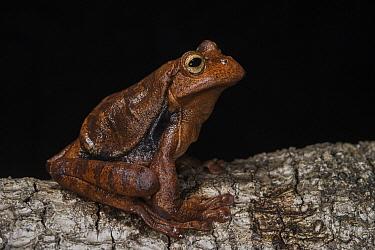 Rana Marsupial (Gastrotheca testudinea), native to South America