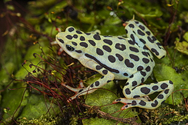 Rio Pescado Stubfoot Toad (Atelopus balios), rediscovered in 2015, native to South America