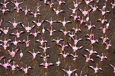 Lesser Flamingo (Phoenicopterus minor) flock taking flight, Lake Bogoria, Kenya