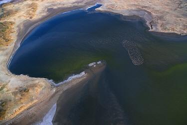 Lesser Flamingo (Phoenicopterus minor) flock in alkaline lake, Lake Magadi, Kenya