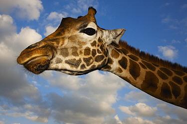 Rothschild Giraffe (Giraffa camelopardalis rothschildi), Nairobi, Kenya