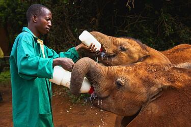 African Elephant (Loxodonta africana) orphan calves being fed by keeper, David Sheldrick Wildlife Trust, Nairobi, Kenya