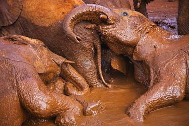 African Elephant (Loxodonta africana) orphan juveniles mud bathing, David Sheldrick Wildlife Trust, Nairobi, Kenya